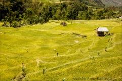 rice-field 1