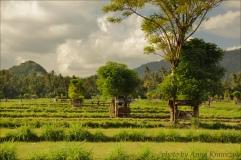 rice-field 3