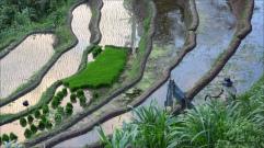 rice-field 4