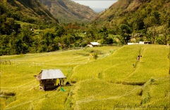 rice-field 5