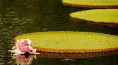 Victoria - type of the water lily, Tirtagangga, Bali.