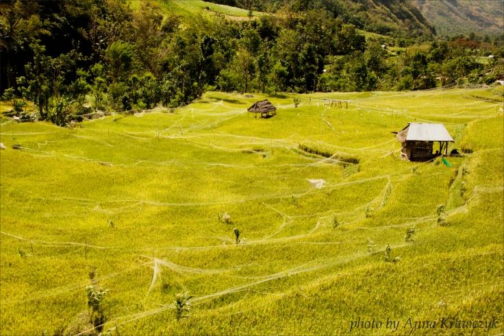 Rice-fields, Bali